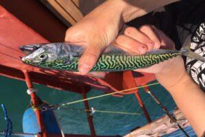 Živá makrela má krásný zbarvení